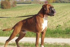Boxer Niederösterreich
